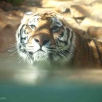 La barben - Tigre