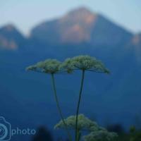 Fleur de Haute Savoie - France