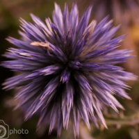 Chardon - Thistle - Digne - France